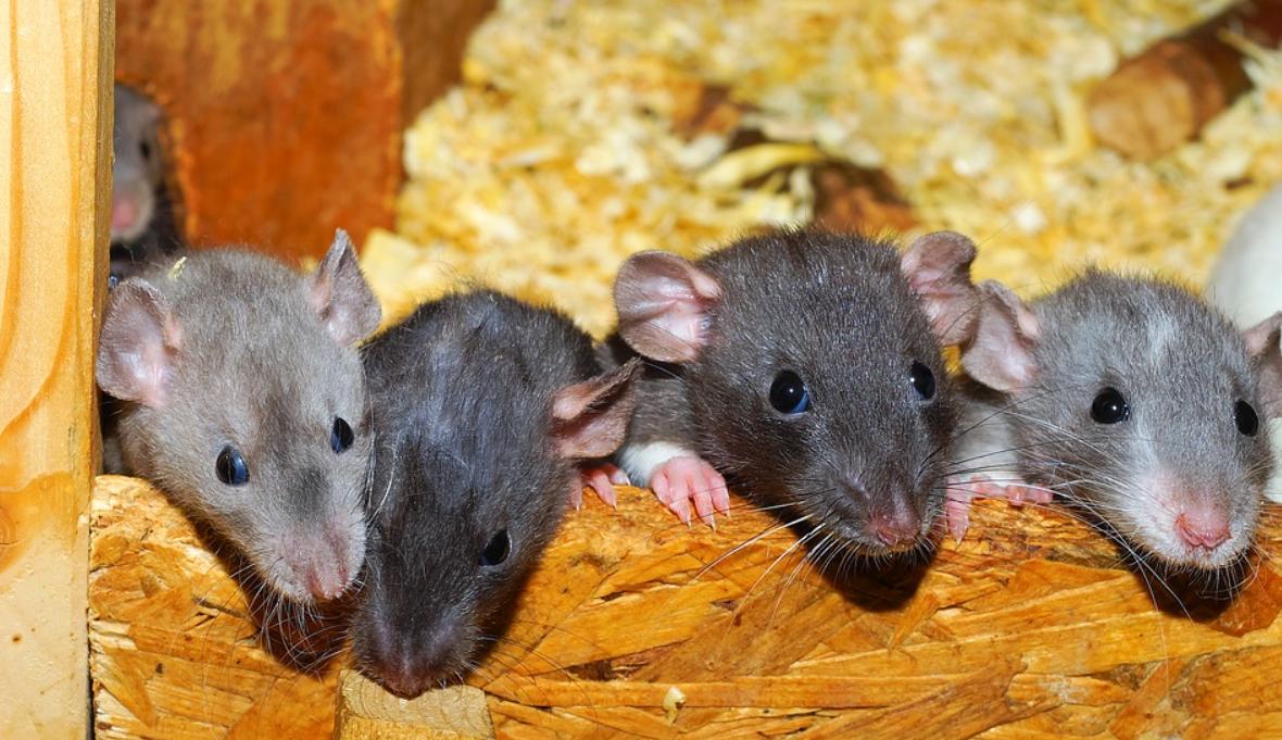 barevné krysy