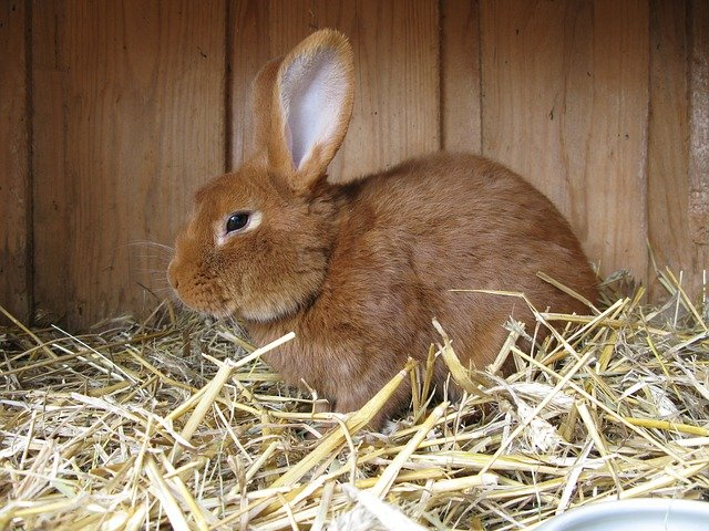 hnědý králík