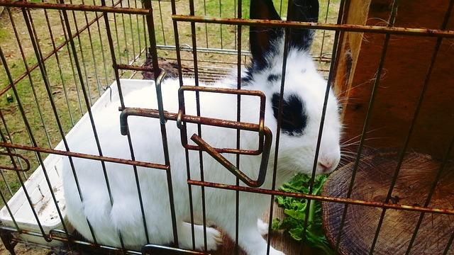 králík v kleci