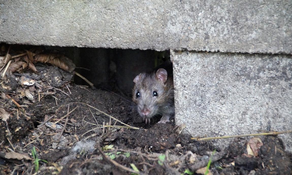 velká myš